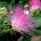 30 Semillas De Acacia Mimosa De Constantinopla Ideal Bonsai