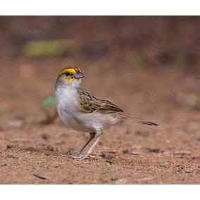Cd - Canto Cigarrinha-do-campo - Cantos De Pássaros