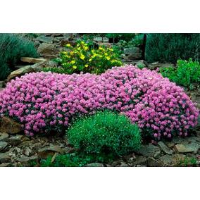 Alyssum Violeta Sementes Flor Para Mudas
