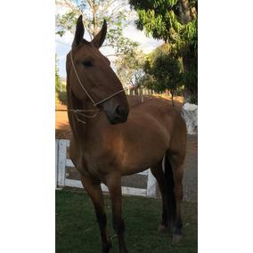 Égua Campolina Po