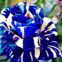 Semillas De Rosa Dragon Azul, Exóticas, Rosas Raras Rosales