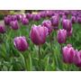 Bulbos De Tulipanes Y Narcisos De La Patagonia