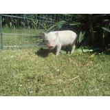 Cerdito Mini Pig Rosa ,sistema De Apartado