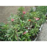 Rosa Do Deserto ( Sementes Frescas) - Adenium Obesum Cores