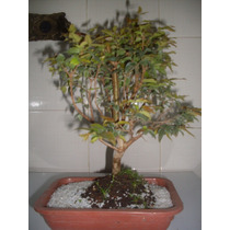 Bonsai Jabuticaba