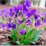 Violeta Africana 20 Sementes Plantas Flores Jardim