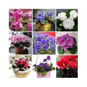 100 Sementes Mix Violeta Africana Flor Para Bonsai Jardins