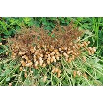 30 Semillas De Cacahuate Temporalero Virginia Certificada