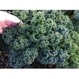 Combo Semillas De Kale. Cuatro Variedades
