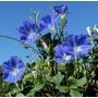 Sementes Ipomoea Tricolor Trepadeira Glorria Da Manha Rara