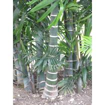 Muda De Palmeira Dypsis Cabadae - 15 A 25cm - 12x S/ Juros!
