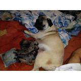 Pug Carlino 100% Puros (((en Espera))) Ya Nacieron