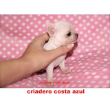 Chihuahua Mini De Bolsillo Hembras Criadero Costa Azul