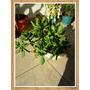 Planta Arbolito Del Dollar Abundancia