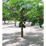 Mamão Anão Do Amazonas Papaya - Sementes Frutas Para Mudas