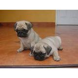 Pug Color Cervato Cachorritos