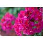 Planta Plantin Floral De Malvon, Para Jardines Y Parque!