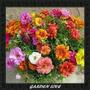 Frete Grátis *** 2000 Sementes De Flor Onze Horas + Brindes