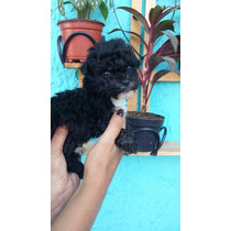 French Poodle Super Chinito Fotos Reales
