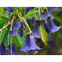 15 Sementes De Brugmansia Trombeta De Anjo Azul P/ Mudas