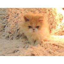 Preciosos Gatitos Persa Bebes Con Registro Internacional