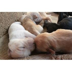 Filhote Labrador Preta