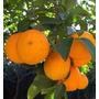 Planta De Naranjo - Ideal Maceta/jardín/campo - E/caba/gba