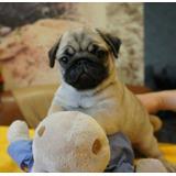 Hermosos Cachorros Pug