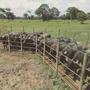 Bufalas Preñadas, Ganado