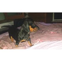 Cachorro Salchicha Hembra