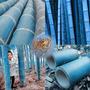 (10) Sementes Bambu Azul + Folheto Como Plantar