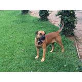 Dogo Canário Cão De Guarda Itabira Segurança Cruzamento