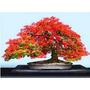 50 Sementes Flamboyant Delonix Para Mudas Flor Gramas Bonsai