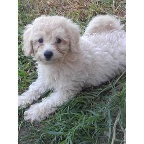 Ultimo Cachorro Caniche Mini Toy Blaco Macho