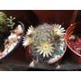 Semillas De Cactus Mammilaria Bocasana