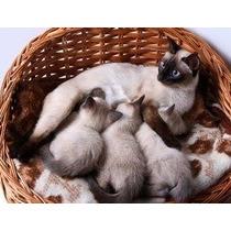 Filhotes De Gatos Siames Legitimos Puro Sangue