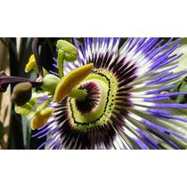 Pasionaria ( Planta ) , Flor Pasión , Passiflora Caerulea