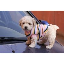 Cachorros Caniche Míni Micro Toy Hembras Y Machos Calidad Ún