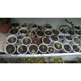 Cactus Y Crasas - Gran Variedad Disponible