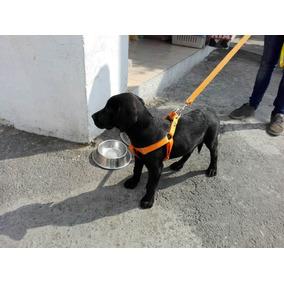 Pechera Labrador Cachorro Francesa Con Correa