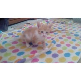 Gato Gatito Gatos Gengibre En Adopcion!