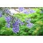 Plantín Árbol Jacarandá Mimosifolia. Envíos Caba