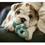 Cachorros Bulldog Ingles, Hembra Y Macho