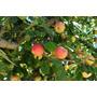 Arbol De Manzanas, Manzanos Roja Y Verde, Naranja, Pomelo!