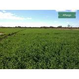 Alfalfa 100% De Máxima Calidad