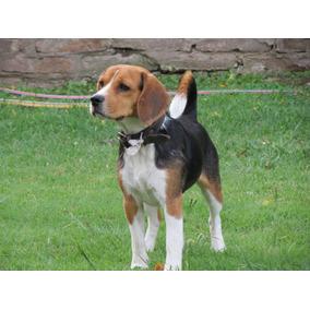 Asesoramiento Para Servicio Beagle