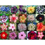 1000 Sementes De Rosa Do Deserto - Adenium Obesum - Raras
