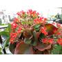 1 Planta De Kalanchoe, De Flores Rojas, Sutil Y Resistente!