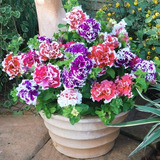 10 Sementes Petúnia Veludo Flor Exótica E Linda