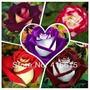 Rosa Osiria Semillas Exoticas Flores
